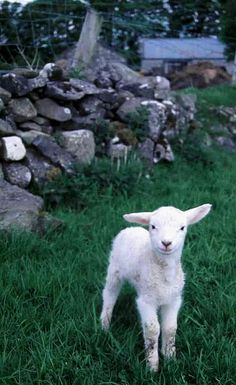 I raised a baby lamb all my self at age 12. named it dodge ram so i could tell my friends i had a dodge ram. I later sold it and eat it one sunday at fellowship.
