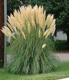 Siergrassen die als tuinplant aangeboden worden woekeren niet, maar de meeste siergrassen worden na verloop van tijd te groot. Door de pollen om de vijf jaar te scheuren wordt voorkomen dat ze te groot worden. Laat u de pollen te lang staan dan kunnen ze verhouten en dan is het moeilijk om ze nog uit de grond te krijgen. Het hart van de plant wordt dan ook vaak minder vol.