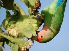 """The """"Peach Faced Love Bird"""" is native to SW Africa & is very social, affectionate and loves the companionship of people & other birds. It supposedly makes a great pet but it's recommended that you get 2 for their emotional well-being.   Via Care2"""