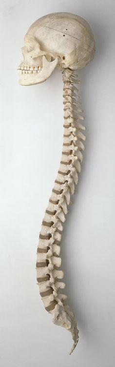 Skull (Cranium-uper and Mandible-jaw) and Spinal column Anatomy Study, Anatomy Art, Anatomy Reference, Human Anatomy, Art Reference, Skeleton Anatomy, Skeleton Bones, Skull And Bones, Axial Skeleton