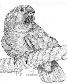 Sally Blanchard - Pen Drawing Elderly Red-lored Amazon