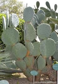 obsessed with opuntia robusta.. message me if you have any pups that you could spare!