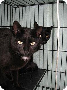 Adopt a Pet :: Photo 1: Daisy - Riverhead, NY -  Domestic ShorthairMix