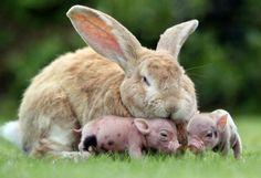 子ブタの面倒を見るウサギ