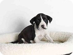 San Pedro, CA - Staffordshire Bull Terrier. Meet A1549022, a puppy for adoption. http://www.adoptapet.com/pet/12840850-san-pedro-california-staffordshire-bull-terrier