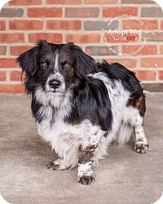 1000+ images about Doggies >> Basset Hound or Corgi Mixes ...