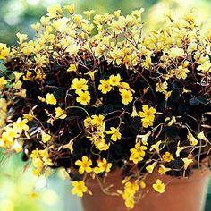 Burgundy Oxalis - yellow bloomer - shade lover