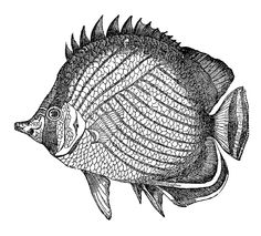 Victorian tropical fish illustration