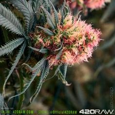 Check out this pink fat weed nug - @official420raw / 420raw.com