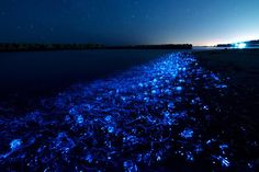 Japan - Firefly Squid Spawn / Toyama   When firefly squid move close to coast, this phenomenon happens.You can see this during the spawning season from March to May.It normally happens at night when the sea is quiet without moonlight