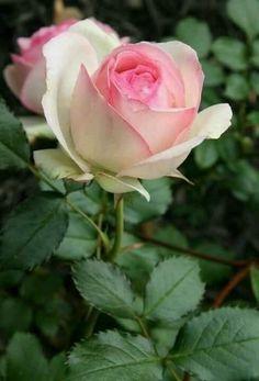 Beautiful Rose Flowers, Wonderful Flowers, Pretty Roses, Love Rose, Carol Rose, Rose Flower Wallpaper, Harmony Rose, Rose Pictures, Growing Roses