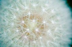 #bloom #blossom #close up #dandelion #flora #flower #hd wallpaper #plant
