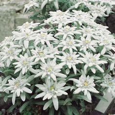 Alpen-Edelweiß, 9 cm Topf  Diese Besonderheit erfreut im Frühsommer mit malerischen Blüten in Sternform und sorgt für Urlaubsgefühle im eigenen Garten.