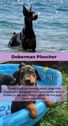The Doberman Pinscher is among the most popular breed of dogs in the world. Known for its intelligence and loyalty, the Pinscher is both a police- favorite bree Doberman Mix, Doberman Pinscher Dog, Doberman Training, Animals Beautiful, Best Dogs, Best Friends, Puppies, Cartoon, Pets