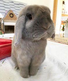 Não. Essas orelhas caídas são simplesmente boas demais para serem verdade. | 26 coelhinhos tão ridiculamente fofos que chega a doer