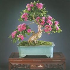 Crape Myrtle Tree - Bonsai Tree - Lagerstroemia - 10 Seeds | Seeds for Africa