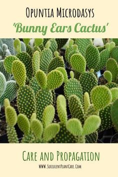 Opuntia Microdasys 'Bunny Ears' are hardy and easy to grow and propagate. Learn about care, propagation and growing tips for Opuntia Microdasys 'Bunny Ears' Cacti right here! Bunny Ear Cactus, Cactus Flower, Cactus Cactus, Prickly Pear Cactus, Cacti And Succulents, Planting Succulents, Cacti Garden, Propagating Cactus, Gardens