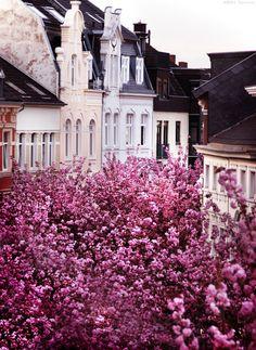 Photograph Cherry Blossoms 1 by Minna Konsala on 500px