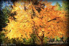 Big Leaf Maple.....fall 2013