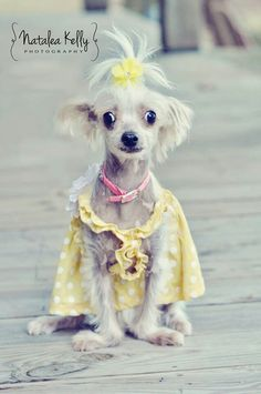 My sweet rescue puppy! Chinese crested hairy hairless. .. The best breed there is.