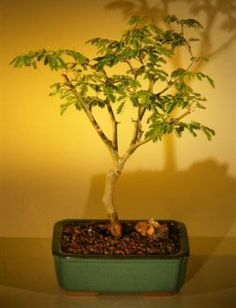 Flowering Brazilian Raintree Bonsai Tree  Medium pithecellobium tortum -- Details can be found by clicking on the image.