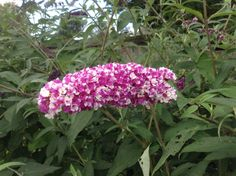 Berries and Cream - Buddleja Collection