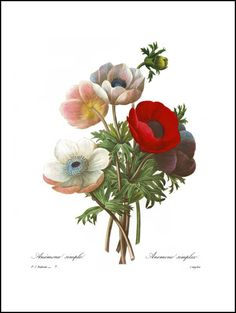 Poppy Anemone (White Background) No. 7  ✔ New, botanical art print of Anemone Simple by Pierre Redoute in 8x10 inch (20x25 cm) or 11x14 inch