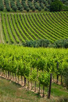 Grape Vineyards And Olive Trees In Tuscany