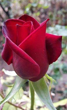 💕 All-Positive 💕 Amazing Flowers, Beautiful Roses, Beautiful Body, Desayuno Romantico Ideas, Love Wallpaper Download, Kristen Stewart Pictures, Rose Wallpaper, Rose Art, Flowers Nature