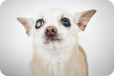Lana Turner by Richard Phibbs.  She is a 16 year old Chihuahua available for adoption at the Humane Society of New York.