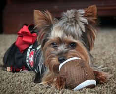 Yorkie ready for some FOOTBALL.