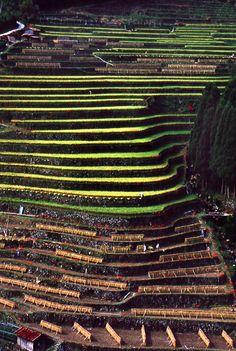 Plantación de té en Yame, Fukuoka, Japón. 八女の茶畑(福岡) tea plantation in Yame,  Fukuoka, Japan