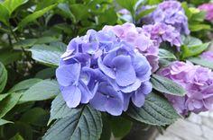 Il fiore dell'ortensia