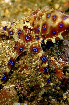 You don't want to annoy a Blue-ringed Octopus – they are as deadly as they are beautiful.