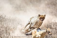 The chase is on! A Cheetah lets a Jackal know who's boss by chasing him away in the Serengeti, Tanzania.