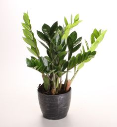 ZZ Plant (Apparently, this grows well in low-light, dry environments! Check!)