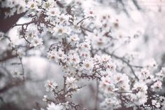 Ponderation — va103:   Almond trees blooming in fogiStockPhoto  ...