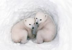 Image result for polar bear cubs