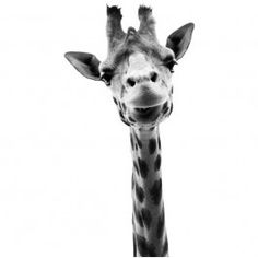Studio Bluebird the Zoo Family Giraffe, giraf zwart wit muursticker - Dieren
