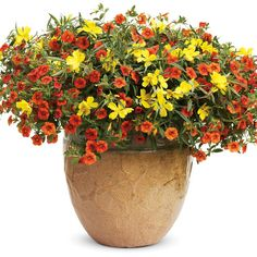 Proven Winners - Dynamic Duo combination container recipe containing Superbells® Dreamsicle® - Calibrachoa hybrid, Lemon Drop® - Primrose - Oenothera species Container Flowers, Flower Planters, Container Plants, Container Gardening, Gardening Tips, Flower Gardening, Short Plants, Patio Plants, Planting Plants