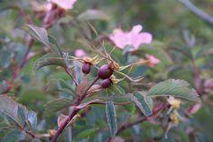 rosa glauca - Kobberrose