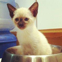Siamese kitten in bowl