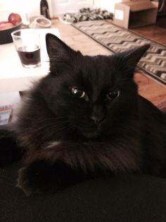 Winston Cat | Pawshake Winchester