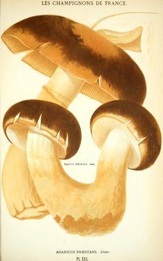 Agaricus praestans. Les champignons de la France. Paris :J. Rothschild,1870. Biodiversitylibrary. Biodivlibrary. BHL. Biodiversity Heritage Library