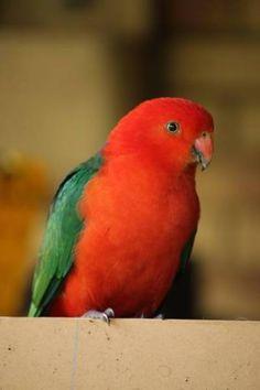 Lost Australian King Clontarf Queensland Qld Australia L37946 Australia Animals Birds Parrot Bird