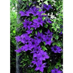 Clematis The President    Clematis The President is very popular cultivar with rich, purple-blue flowers of diamond shaped petals set around a centre of soft-lavender stamens.   Excellent for patio containers.  Grow in sun or light shade  Grows to 2-3m high