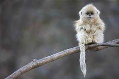 Mono de nariz chata