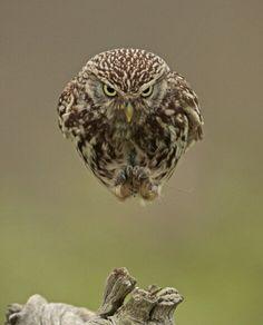 Owl (Christopher Jobson).