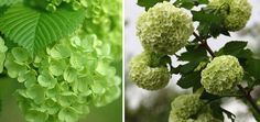 Similar to the Hydrangea this flower can have a green tint or a snow white look. It also comes in cream and light pink. #weddings