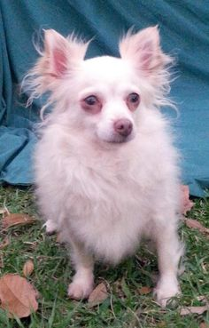 Molly is an adoptable Chihuahua searching for a forever family near Warwick, RI. Use Petfinder to find adoptable pets in your area.